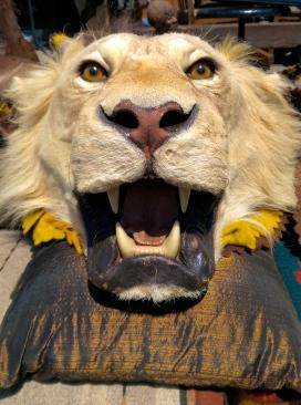 Tamed Lion, Alameda CA, Spring 2015.
